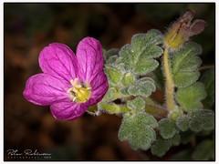 005 5551 - Ixia viridifolia minor (Antirrhinum) Tags: rhswisley flora flower alpine