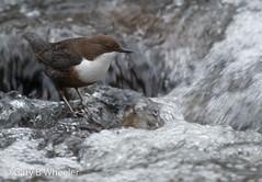 Dipper (Ponty Birder) Tags: g b wheeler pontybirder garywheeler birds wales cincluscinclus dipper birdwatcher inexplore