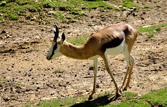 Gazelle (claude 22) Tags: zooparcdebeauval saintaignansurcher france suricate beauval park animalier animals sauvages wild nature zoo