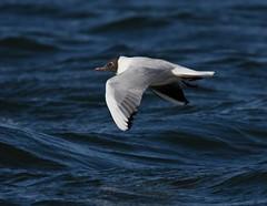 Black headed gull in flight (Lancs & Lakes Outback Adventure Wildlife Safaris) Tags: nikon d7200 sigma 150600mm gull flight blackheadedgull brown wings fleetwood lancashire fleetwoodmarinelake whitestripe stripe hood