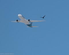 Formation Flying (AphidmanCalgary) Tags: calgary alberta canada ca dreamliner aircraft westjet crow bird