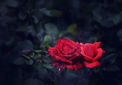 Rose 玫瑰 (MelindaChan ^..^) Tags: macau 澳門 flower plant bokeh leaves macro chanmelmel mel melinda melindachan rose 玫瑰
