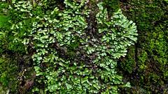 P1050951 - Version 2 (Hiker Bob) Tags: 20190220 bryophytes liverwort meanderthals sangabrielmountains sangabrielriver westfork