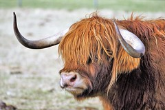 Portrait of a Highland Cow. (artanglerPD) Tags: portrait highland cow hornslong red hair