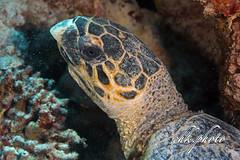 Caretta - Sea Turtle - Unechte Karettschildkröte (chk.photo) Tags: ocean nature naturewatcher outdoor tauchen animal underwater water natur makro naturemasterclass dive light ngc diving macro scuba aegypt ägypten turtle schildkröte