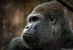 Gentle (Robert Streithorst) Tags: cincinnatizoo eyes gorilla lumix100400 male mishindi robertstreithorst silverback zoosofnorthamerica