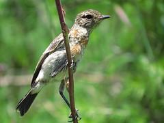 (immature) Common Stonechat  / Gewone Bontrokkie (onvolwasse) (Pixi2011) Tags: birds rietvleinaturereserve southafrica africa nature