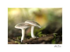 Buddies (g.femenias) Tags: mushrooms fungi nature naturallight macro macrophotography pedreres bonany petra mallorca