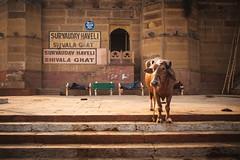 Ghats Cow (*trevor) Tags: 2019 fujifilmx india shivalaghat streetcow varanasi x100f steps