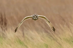 Owl series #9 (Trev Green) Tags: nikon bird owl sigma d500 parkgate wirral