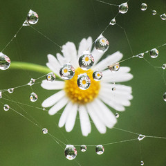 Flower multiplied (LSydney) Tags: droplet waterdrop flower macro web refraction square