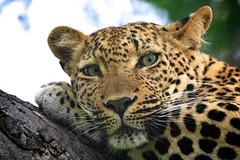 leopard close up (peet-astn) Tags: thornybush southafrica tree wildlife cat bigcat eyes leopard close