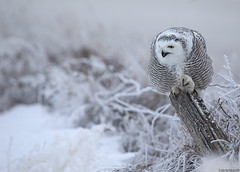Snowy owl (andrériis) Tags: canada saskatchewan winter snowy owl bird canon hardfrost snow alert