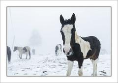 Des chevaux dans la brume (Francis =Photography=) Tags: europa europe france grandest lorraine vosges 88 chevaux cheval pferd brume horse mist rencontre encounter meet lehautdutôt