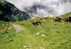 Cows at Emanay, Aug. 2000 (Great Uncle David) Tags: alps mountains switzerland swissalps cows emanay