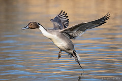 Northern Pintail (Taylor Ann Green) Tags: duck northern pintail flight pond