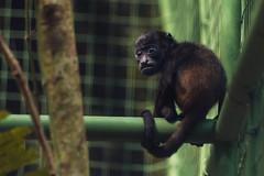 Baby Howler Monkey (proyectoasis) Tags: