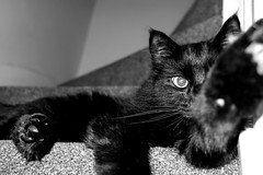 No Photos Please (Christian_Davis) Tags: midnight cat feline mycat stairs stairwell carpet highcontrastbw black white monochrome ricoh gr grii animal pet