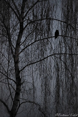 Embusqué (bertrand kulik) Tags: rapace night nuit arbre chouetteeffraie owl bird nature tree ambiance