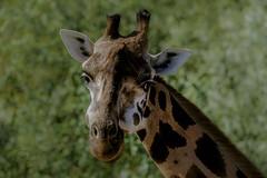 Face to face without jumping up while fotographing (MaiGoede) Tags: giraffe animals animal animalportrait animalia afrika zoomerlebniswelt zoo nature natur naturfoto natura natureza nikon