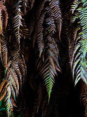 Falling Ferns (Steve Taylor (Photography)) Tags: fern blue brown green newzealand nz southisland canterbury christchurch leaves