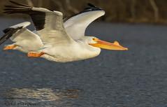 American White Pelicans. (Estrada77) Tags: americanwhitepelicans pelicans inflight bigbirds wildlife winter2019 mar2019 kanecounty foxriver illinois outdoors animals nikon nikond500200500mm nature birds birding