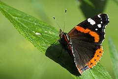 Admiral (Vanessa atalanta) (uwe125) Tags: tier insekt schmetterling animal insect butterfly blüte nektar nectar lavender blossom admiral