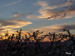 Aitona (Gatodidi) Tags: aitona lleida catalunya cataluña frutas melocotón arboles melocotoneros nubes cielo puesta sol flores atardecer paisaje landscapes natura naturaleza belleza