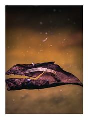 old leaf in the pond (Mallybee) Tags: outside leaf golden decay pond fujinon 18135mm ois zoom f3556 fuji fujifilm xt30 apsc xtrans xmount mallybee