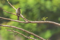APALIS KUNGWE (Ezio Donati is ) Tags: uccelli birds animali animals natura nature alberi trees westafrica costadavorio arealeslagunes abidjan