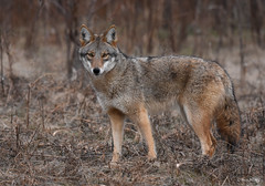Eastern Coyote (aj4095) Tags: coyote ontario canada nikon nature wildlife outdoor animal