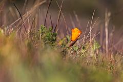 Sweeney Ridge, Pacifica, CA. (j1985w) Tags: california pacifica sweeneyridge flowers grass
