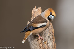 Hawfinch – Coccothraustes coccothraustes - grubodziób (tomaszberlin) Tags: hawfinch coccothraustescoccothraustes grubodziób poland polska bird ptak nature wildlife birdwatching light nikon d500 bokeh colours białowieżaforest ngc