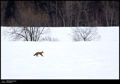 Renard (Sébastien Dionne photographe) Tags: renard fox saintalexandredekamouraska bassaintlaurent canon canon5dmarkiv canon5dmkiv 5dmarkiv 5dmkiv sigma sigma150600 sigma150600dgoshsmsport sigma150600s