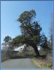 An old Broad-trunked Arbutus Tree (robinb44) Tags: bigleafmaple garryoak arbutus vancouverisland britishcolumbia bc nanaimo cedar latewinter march trees nanaimoriverestuary pacificmadrone west arbutusmenzeisii