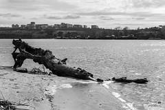 Am Sandufer (ucrainis) Tags: riverbank dnieper zaporizhzhia khortytsia ukraine landscape riverscape sand tree trank nature spring black white bw monochrome