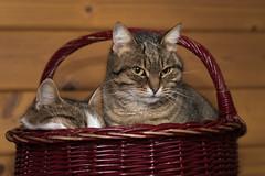 Sonja (und Bruno) :-) (Jana`s pics) Tags: katzen tierschutz katzenhilfe cats haustier hauskatze animal pet körbchen tierfotografie animalphotography