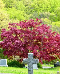 The Cross and the Tree (Stanley Zimny (Thank You for 40 Million views)) Tags: cemetery cross tree maple seasons spring red sculpture grave