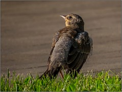 Bird / spring (ewkakrzewinska - fotografie) Tags: krzewka bird ptak ptaki
