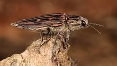 Wood-boring Jewel Beetle (Chalcophora sp., Buprestidae) (John Horstman (itchydogimages, SINOBUG)) Tags: insect macro china yunnan itchydogimages sinobug entomology beetle coleoptera jewel buprestidae fb tweet topf25 top tumblr canon