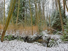 Winter's First Snow (walneylad) Tags: westlynn lynnvalley northvancouver britishcolumbia canada woods woodland forest urbanforest trees bushes branches creek stream brook ferns rocks bank leaves log snow sky winter february nature scenery view