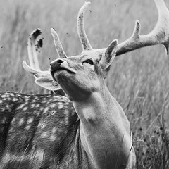 Shaking Off Flies (andy_AHG) Tags: wildlife autumn stag fallowdeerbuck antlers ruttingseason animals nikond300s yorkshire