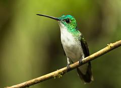 Andean Emerald - Ariane de Francia (charbonjoh) Tags: ecuador tandayapa andeanemerald arianedefrancia amaziliafranciae canoneos7dmarkii canonef100400mmf4556lisiiusm