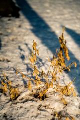 Sad Plant (rg69olds) Tags: 1192019 40mm 5dmk4 canoneos5dmarkiv nebraska sigma40mmf14artdghsm art canon oldmarket omaha primelens sigma sad plant sadplant winter snow wilting wilt shadows 40mmf14dghsm|a
