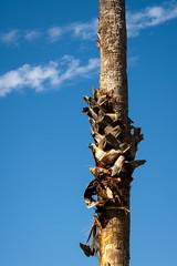 Trunk (.Stephen..Brennan.) Tags: da70 eastfremantle pentax pentaxk3 trees perth westernaustralia australia au 70mm