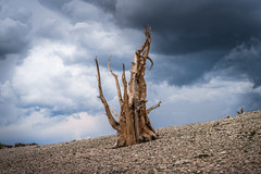White Mountains Ancient Bristlecone Pine Forest! Dark Colorful Thunderhead Stormclouds! Sony A7R2 Inyo National Forest Bishop California Dr. Elliot McGucken Fine Art Photography! Sony A7R II & 16-35mm F4 Carl Zeiss Wide Angle Lens! High Res 4k 8K Photos! (45SURF Hero's Odyssey Mythology Landscapes & Godde) Tags: white mountains ancient bristlecone pine forest dark colorful thunderhead stormclouds sony a7r2 inyo national bishop california dr elliot mcgucken fine art photography a7r ii 1635mm f4 carl zeiss wide angle lens high res 4k 8k photos
