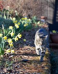 Camille (rootcrop54) Tags: camille female mackerel tabby cat striped daffodils lateafternoon flowers light neko macska kedi 猫 kočka kissa γάτα köttur kucing gatto 고양이 kaķis katė katt katze katzen kot кошка mačka gatos maček kitteh chat ネコ cc100 cc200