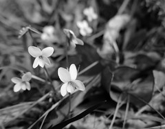 Tiny violets among leaves (Monceau) Tags: tiny white violets leaves bokeh macro monochrome blackandwhite
