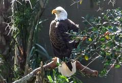 Eagle -- 1080542~2 (mshnaya ☺) Tags: american eagle bald roost perch raptor bird prey fowl wildfowl flickr photo pic camera compact point shoot leicac 白头鹰