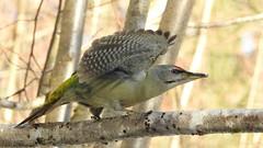 Grey-headed Woodpecker ♂ (Picus canus) (eerokiuru) Tags: greyheadedwoodpecker picuscanus grauspecht dzięciołzielonosiwy hallpearähn woodpecker bird p900 nikoncoolpixp900